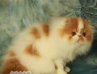 出售重点色波斯猫纯种波斯猫幼猫 宠物猫全白色波斯猫