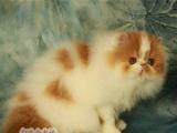 纯白色波斯猫宠物猫活体波斯猫幼猫纯种宠物波斯猫纯种