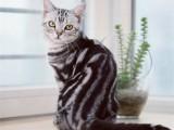 美短貓純種短毛貓美短加白起司貓虎斑短腿貓