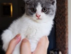 英短猫咪找新家
