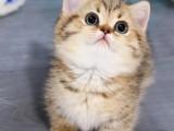 矮脚猫幼崽拿破仑曼基康猫咪宠物猫