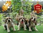 专业繁殖比格犬养殖基地 可以来犬舍里挑选