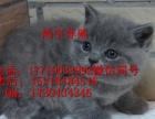 出售英短蓝猫繁育猫厂猫舍舍