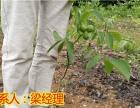 重庆怎么种植8518早实薄壳核桃苗,8518薄壳苗