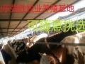 小牛犊多少钱一头肉牛犊最新价格加盟 家政服务