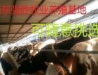 小牛犊多少钱一头肉牛犊最新价格