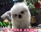 出售可爱乖巧活泼美丽毛线球般的宠物狗迷人京巴幼犬