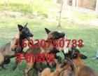 马犬,马犬幼犬,马犬,马犬幼崽,马犬价格,马犬图片