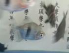 粗线银版龙鱼配鱼沙包鱼热带鱼观赏鱼