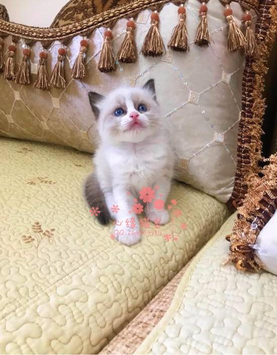 太原哪里有卖布偶猫幼崽 太原较便宜布偶猫多少钱一只保健康