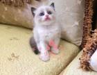 深圳宠物 深圳哪里的布偶猫较便宜 纯种布偶猫一般卖多少钱一只