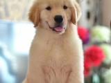 大同哪里卖金毛幼犬纯种健康金毛幼犬精品纯种金毛幼犬金毛犬图片