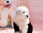 家养赛级双血统白头通背古牧幼犬出售免疫齐全包健康