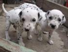 聪明活泼的家庭犬 斑点狗宝宝出售 聪明伶俐易与小孩