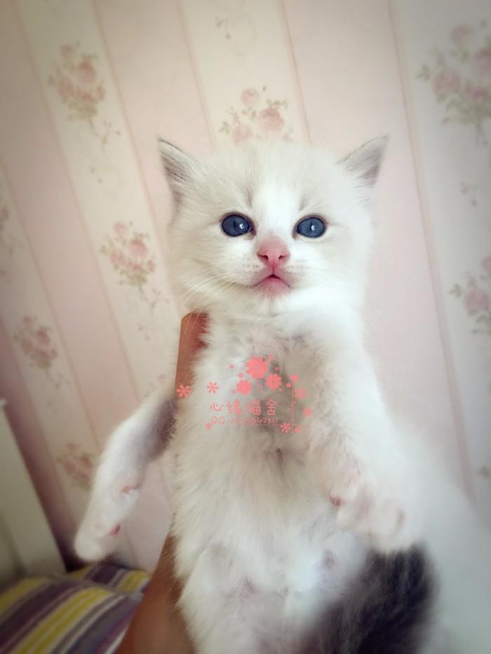 南宁哪里有卖布偶猫的较便宜多少钱一只