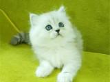 廣東廣州雙血統金吉拉幼貓較低多少錢