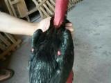 精品斗鸡出售 品种多 价格低