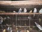常年出售观赏鸟
