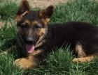 佛山纯种德国牧羊犬价格 佛山哪里能买到纯种德国牧羊犬