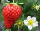 郴州草莓园 郴州摘草莓首选 陈勇草莓园