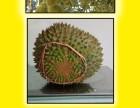 马来西亚榴莲 冷冻榴莲 猫山王 苏丹王 支持一件代发