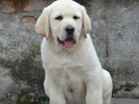 精品拉布拉多 聪明工作犬 大头版 成年帅气可上门交易