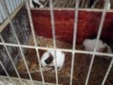 出售宠物兔荷兰猪