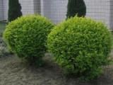 北京华源发栽植北方各种苗木花卉一站式购齐各种需求