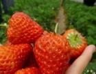 冷水滩乡情绿色草莓园采摘节开始啦