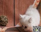 自家繁育纯血金吉拉 幼猫多只弟弟妹妹都有可办理证书欢