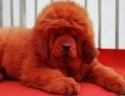 贵阳哪里卖藏獒犬幼犬贵阳藏獒多少钱一只藏獒图片藏獒好养吗
