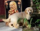 经典美系金毛犬 极品大头金毛幼犬大头大骨架金毛