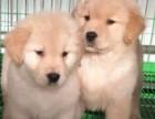 常年出售北京宠物狗金毛猎犬多少钱保健康签协议送货上门