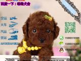 贵宾犬多少钱一只/在哪里能买到