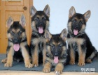 顶级血统锤系德牧幼犬质优价廉品质三包欢迎选购