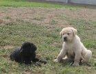大型犬舍繁殖高品质拉布拉多健康有保证欢迎上门