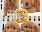重庆出售纯种健康品相超好专业繁殖金毛犬 血统纯种 疫苗齐全