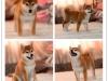 正宗日本纯种柴犬 纯