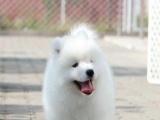 出售萨摩耶犬 顶级微笑天使澳版大毛量萨摩耶幼犬