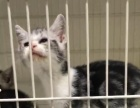 家养三只蓝猫出售