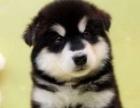 阿拉斯加犬纯种家养繁殖阿拉斯加犬出售精品家养活体宠物狗