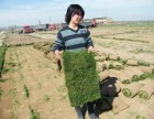 北京延庆丹麦草批发  出售完善的售后服务