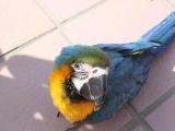 金太阳 灰鹦鹉 蓝黄 红菱吸蜜 折中