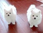 郑州哪有日本尖嘴犬卖 郑州日本尖嘴犬价格 日本尖嘴犬多少钱
