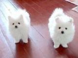 北京哪有银狐犬卖 北京银狐犬多少钱 北京银狐犬图片