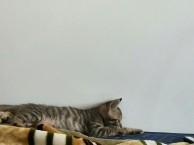 猫咪找领养 坐标景德镇 梨花猫咪 找同城的领养