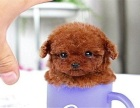 自家养的双血统泰迪犬一窝小狗待售 欢迎上门挑选