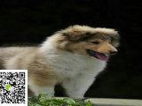 在哪里买纯种的苏牧幼犬 苏牧幼犬最低多少钱