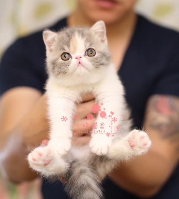 南宁哪里有卖加菲猫的较便宜多少钱一只