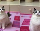 成都哪卖纯种布偶猫便宜成都宠物店布偶猫多少钱一只